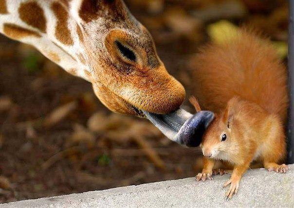Жираф влюбиииился в..... белку