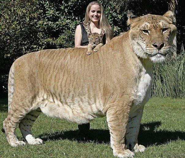 """Самая крупная кошка на Земле: лигр """"Геркулес"""" - из Майами"""