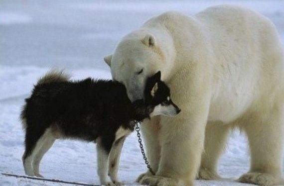 Дружба белого медведя и хаски