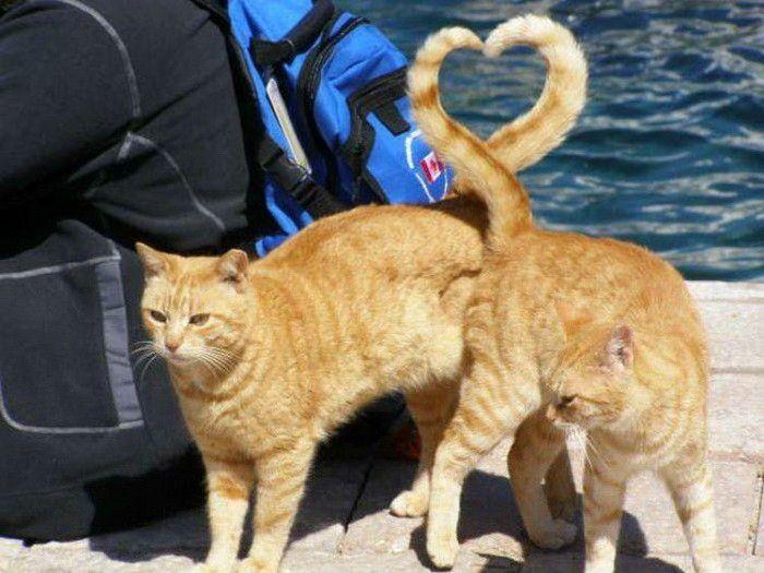Ко Дню Святого Валентина - кошачье сердце любви