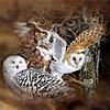 11 owls