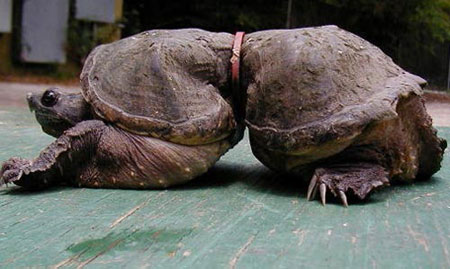 Черепаха в кольце