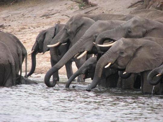 Слоны весь мир заполонили