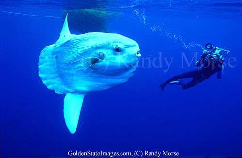 6(а). Оcean sunfish. Рыба-луна. Mola mola. Достигает в длину 3 м и веса 1410 кг.   Зафиксирована поимка сверхгиганта длиной 5,5 м