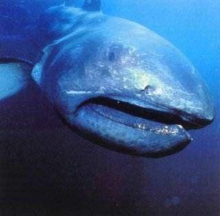 10(а). Megamouth shark. Глубоководная.