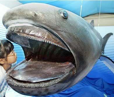 10(в). Megamouth shark. Глубоководная.