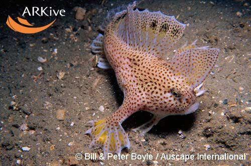 14. Handfish. Рыбка с ручками. Покрыта ядовитыми шипами, ходит по дну.
