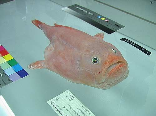 15. Coffin fish. Гроб. Опасный урод. В случае опасности, глотает воду и надувается так, что его невозможно проглотить.