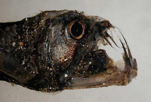 2(а). Viperfish. Гадюка. Всё понятно: клыки и челюсти.