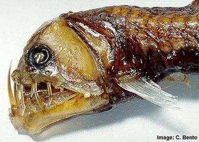 2(б). Viperfish. Гадюка. Всё понятно: клыки и челюсти.