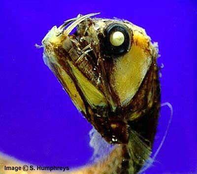 2(в). Viperfish. Гадюка. Всё понятно: клыки и челюсти.