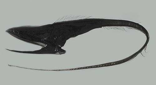 3. Pelican eel. Угорь.