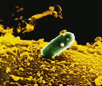 Бактерия Rhizobium leguminosarum