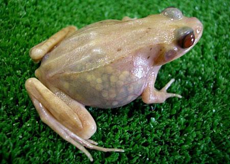 Теперь опыты над лягушками станут не только намного эффективнее, но и гуманнее