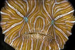 Histiophryne рsychedelica — обитатель коралловых рифов