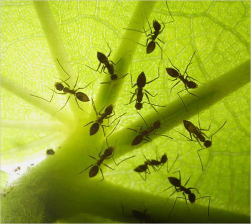 Paratrechina longicornis-обычные муравьи тёмного цвета, но необычны тем...