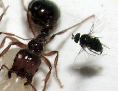 Огненный муравей подвергается атаке мухи-горбатки. Если ему не удастся убежать, он лишится головы
