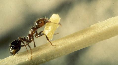 Красно-коричневый ядовитый муравей в полный рост