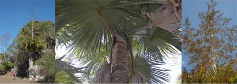 Пальма Tahina spectablilis