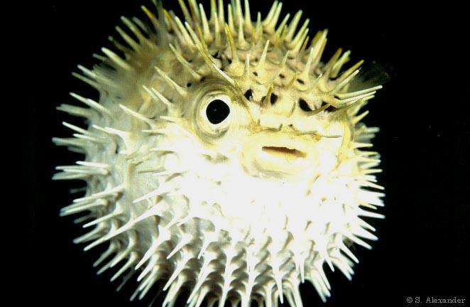 Деликатес из рыбы фугу вызывает паралич