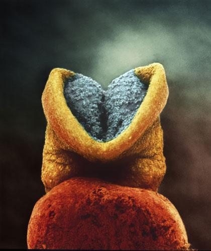 Развитие эмбриона. Серым цветом - будущий головной мозг. (22 дня)