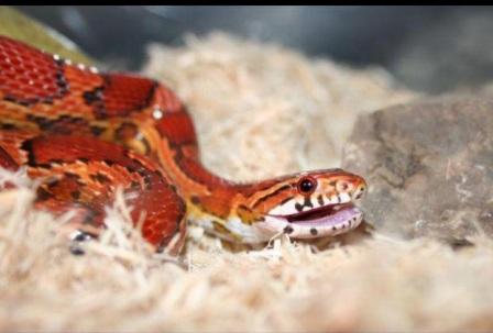 Змея отличается очень недружелюбным характером. Яд действует молниеносно. Человек умирает за 7 минут.