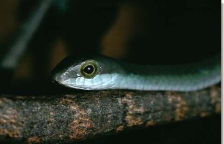 Африканский бумсланг (Dispholidus typus)