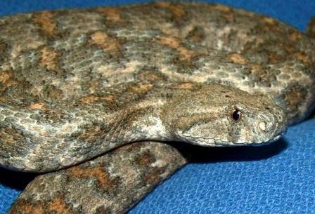 Гюрза (Vipera lebetina)