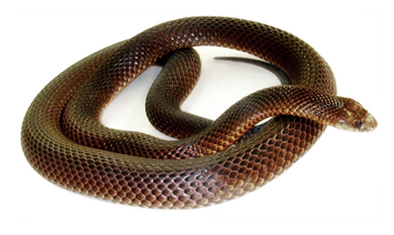 Мулга (Pseudechis australis) (Коричневый король)