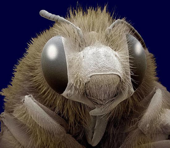 Пчела медоносная или домашняя (Apis)
