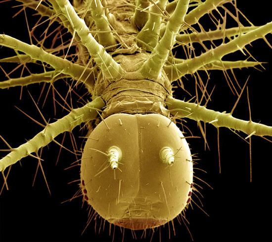 Тропическая гусеница (Lepidoptera)
