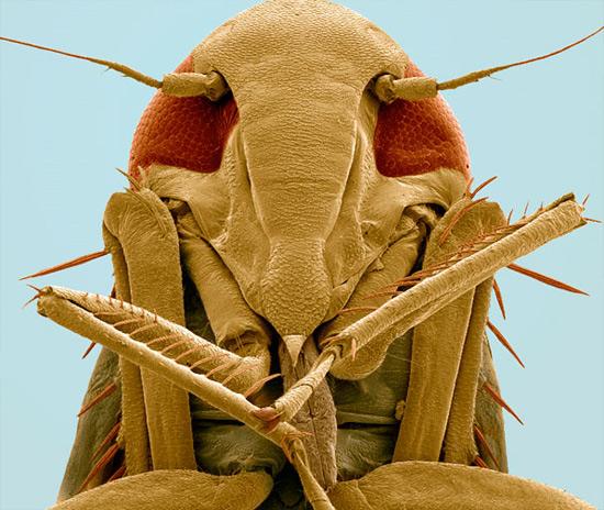 Нижняя часть головы цикады-пенницы (надсемейство Cercopoidea)