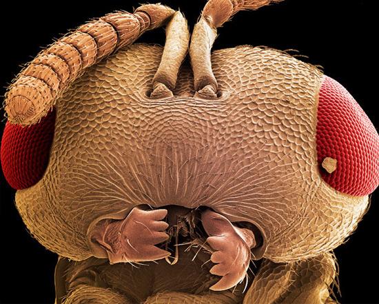 Еще одна голова осы (отряд Hymenoptera)