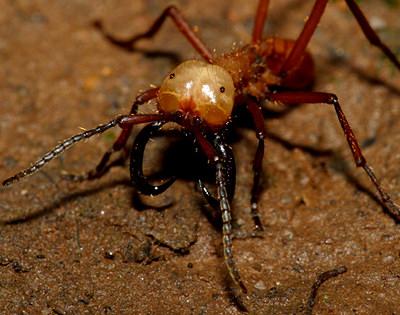 Армейские муравьи-солдаты