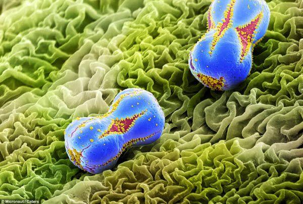 Увеличенный снимок пыльцы незабудки