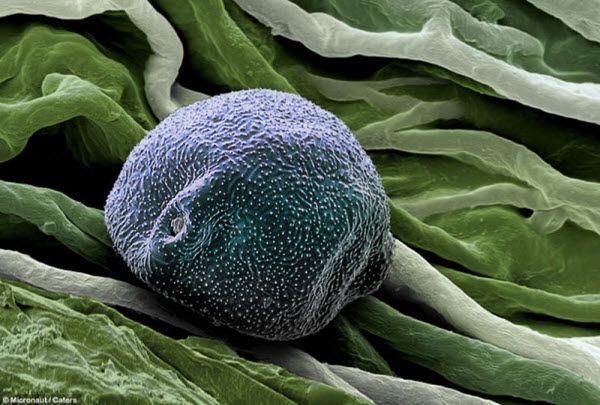 Пыльца березы. Пыльца березы осыпается в период между мартом и маем, так что в апреле аллергикам не повезло больше всего