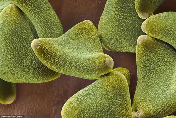 Пыльца леукофиллума имеет липкую оболочку, чтобы животные могли переносить ее