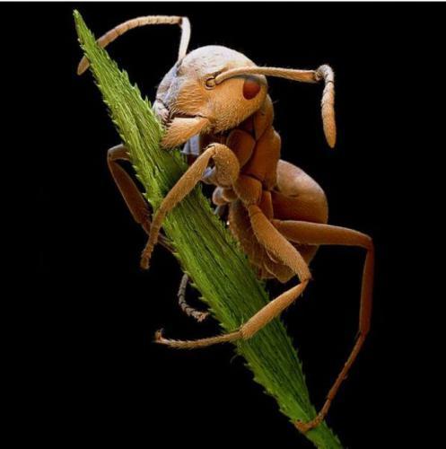 Коричневый муравей