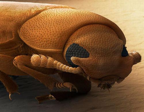 Голова жука