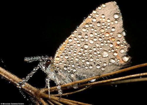 бабочка сваровски