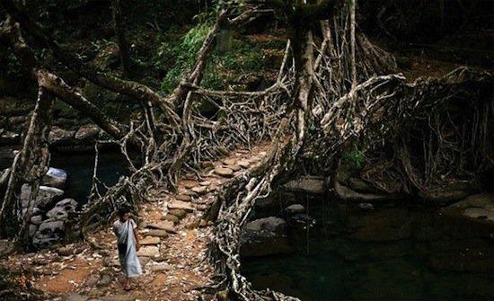 Мост из корней