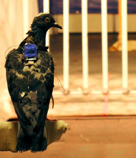 Голубь, принимающий участие в эксперименте (автор David Williams).