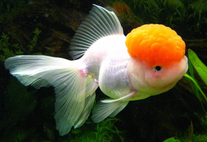 Золотая рыбка – «Красная шапочка»