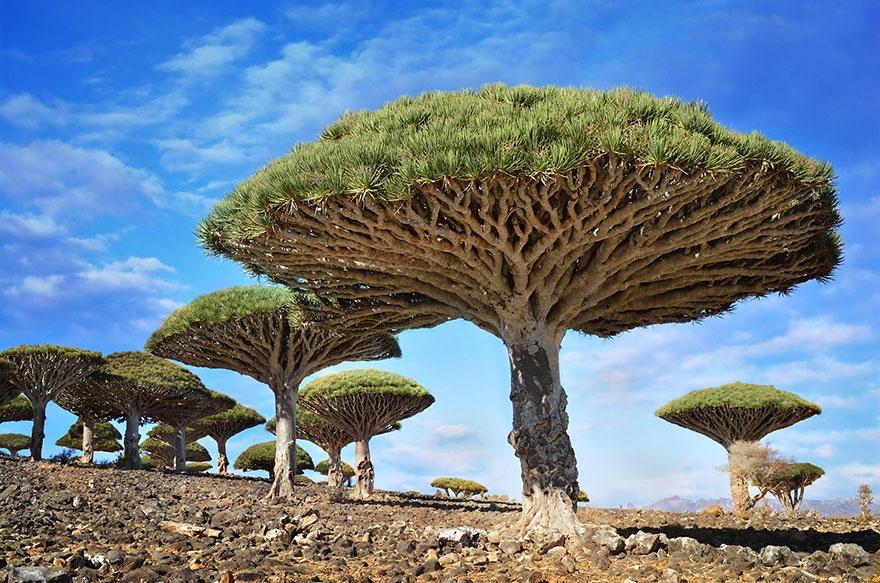 рис.17. 16 самых удивительных деревьев на планете