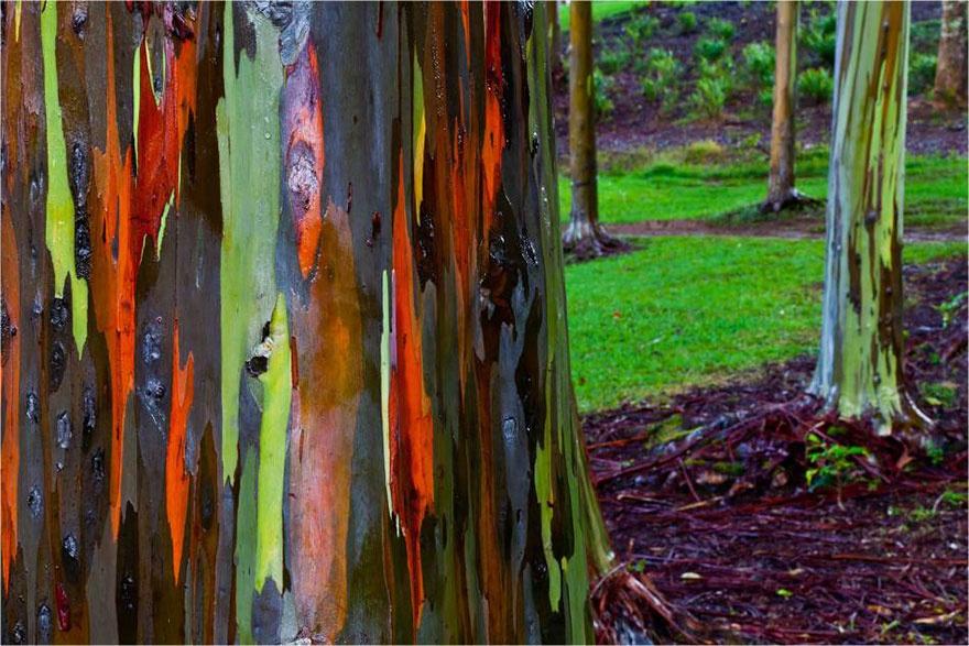 рис.14. 16 самых удивительных деревьев на планете