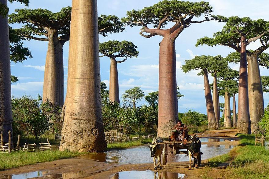 рис.2. 16 самых удивительных деревьев на планете