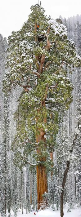 рис.6. 16 самых удивительных деревьев на планете