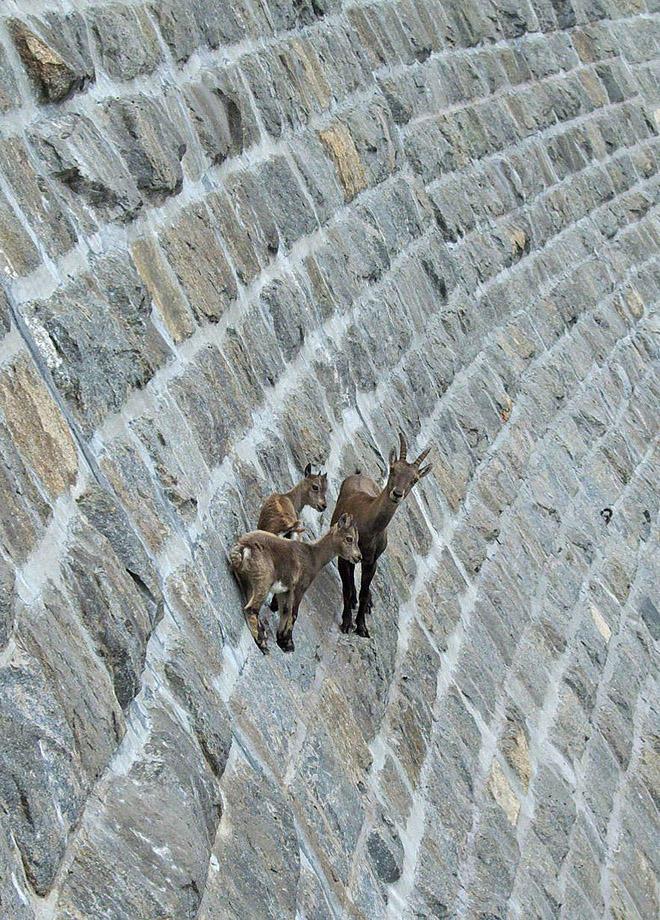 рис.21. Удивительные горные козлы