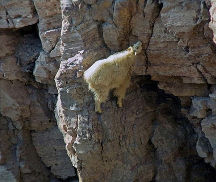 рис.17. Удивительные горные козлы