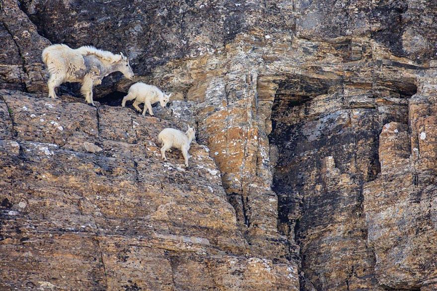 рис.4. Удивительные горные козлы